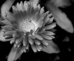 Marigold - B/W - My first (Kirsten M Lentoft) Tags: bw flower topc25 marigold thebest natures momse2600 naturesthebest naturesthebestinvitedphotosonly lovenatures thegoldenmermaid kirstenmlentoft