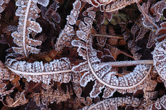 (Mark Rutter) Tags: winter brown cold fern leaves death leaf warm frost all decay freezing frosty curled curl ferns delicate fragile l3 i120 markrutter