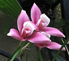 Twins... (L-T-L) Tags: pink two orchid flower longwoodgardens aclass blueribbonwinner