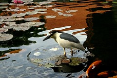 burung (Farl) Tags: morning travel light bali bird colors reflections indonesia pond lotus koi