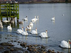 Follow me... (Lidwit) Tags: nature geotagged scotland wildlife north swans fav loch lanarkshire naturescene broadwood