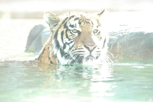 Tiger Water Cat