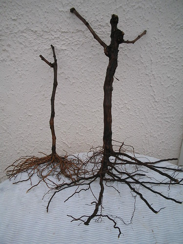 Bare root mature vines ready for shipment
