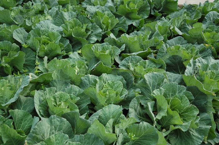 綠油油的蔬菜