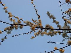 SANY0096 (sawa) Tags: flower ume plumtree tokyotravel