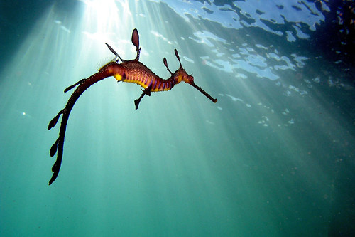 Weedy sea dragon, by Micapixel