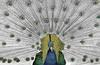 peacock fun! (blueeyeddebby) Tags: selectivecolouring interestingness152 interestingness136 i500 peacocok explore25feb2007