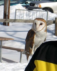 Barn Owl - Tyto alba (blmiers2) Tags: winter snow newyork nature geotagged blog owls barnowl 2007 tytoalba strigiformes wildwings mendonponds tytonidae blm18 blmiers2