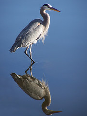 Great Blue Heron (Nikki OK) Tags: bird heron bravo greatblueheron jesters questfortherest naturesfinest flickrsbest specanimal animalkingdomelite mywinners platinumphoto anawesomeshot impressedbeauty superaplus aplusphoto brpblue diamondclassphotographer brisbanebirds superhearts naturewatcher thegoldenmermaid tup2 winnerbc