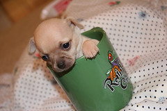 Chihuahua in a Cup