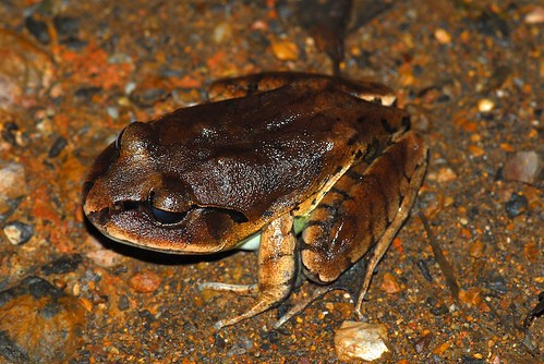 Greater barred frog