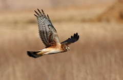 Northern Harrier (immature) (Hard-Rain) Tags: bird nature illinois hawk circus wildlife flight aves raptor prey immature predator plainfield falconiformes northernharrier circuscyaneus accipitrinae explore3 shieldofexcellence avianexcellence acciptridae