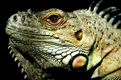 Dinosaur (Cavutto) Tags: eye scale animal animals ancient dinosaur reptile lizard iguana scales views prehistoric 1000 vicious fractious 1000views ferocious scaley scaly darwinseye