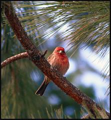 Purple Finch (storm light) Tags: tree bird pine branch bc okanagan finch needles ponderosa purplefinch carpodacuspurpureus roselinpourpre finchfamily