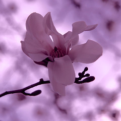 (pricedawna) Tags: pink macro beautiful catchycolors spring colorful blossoms pale buds blooms delicate upclose lavendar