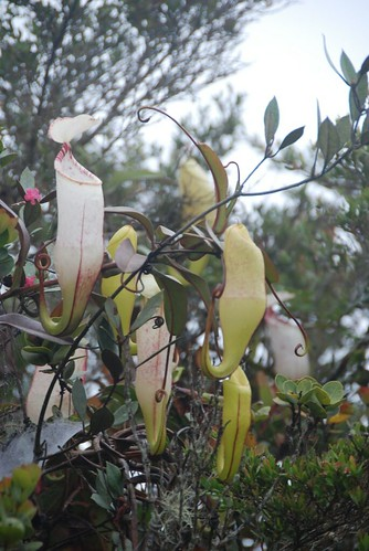 Pitcher plants