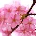 Sakura by miwa**