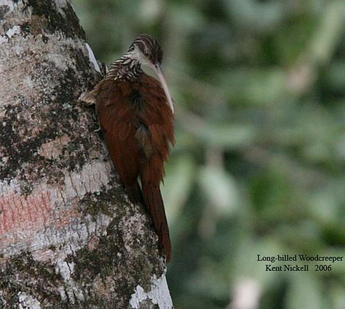 Long-billed Woodcreeper (Nasica longirostris)