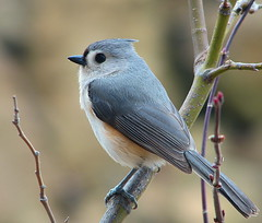 Proud Titmouse (Trish Overton) Tags: tree bird birds ilovenature bravo indiana buds titmouse tufted helluva supershot specanimal abigfave avianexcellence