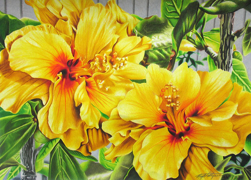 Hibiscus Flowers - Coloured Pencil Drawing. Colored Pencil Drawing, 22X28