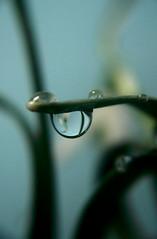 drops (AlexEdg) Tags: flower leaves droplets leaf drops spring nikon waterdrop drop refraction waterdrops snowdrop galanthus 2007 coolpix4300 alexedg alledges
