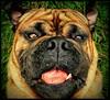 Triple Fudgechunk Stare (Scottspy) Tags: portrait pets cute dogs animals funny mastiff ugly stare blackwell bullmastiff scottspy