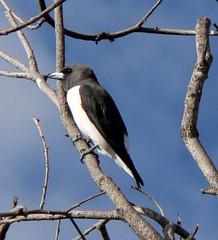 White-Breasted Woodswallow - Artamus leucornchus