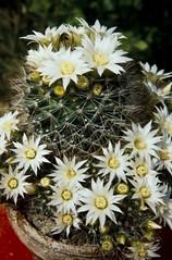 Mammillaria zeilmanniana weiß Dettingen 1989 (Martin Theodor) Tags: mammillaria zeilmanniana weis