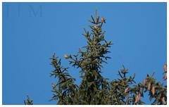 Red Crossbill - Schuylkill County (PA) (J | M BIRDING) Tags: redcrossbill winterfinches finch schuylkillcounty pennsylvania december 2016 owlcreekreservoir birding