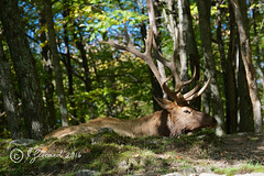 Resting Wapitis Buck (Jeannot7) Tags: wapiti elk parcomega montebello québec