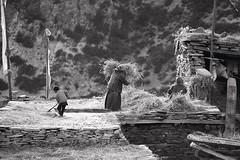 IMG_2185 (pavel B.) Tags: harvest ghyaru annapurnacircuit himalayas nepal