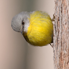 Eastern Yellow Robin (Jon Thornton) Tags: wild bird nature robin birds animal nikon d2x australia chiltern australianbirds eopsaltriaaustralis jonthornton