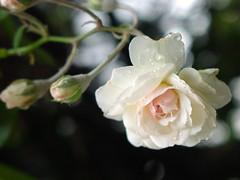white rose 2006 1222 (139) (Acquariana -  glimpsy) Tags: light sun leave sol nature rain natureza softness prism leveza     prisma  lacrima lgrima presena   suavidade
