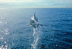 Air Dolphin (fotolen) Tags: love nature water san pacific dolphin flight pedro channel animalkingdomelite bottlnose