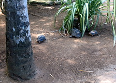 In the botanical gardens they also had tortoises. Watch them go. You can sex tortoises by their shells. The base of a male tortoises's shell is concave.