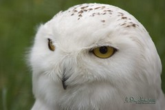 Keep your eyes on the objective. (wildphotons) Tags: scotland snowy owl leadership owls kincraig highlandwildlifepark specanimal animalkingdomelite impressedbeauty buboscandiacu
