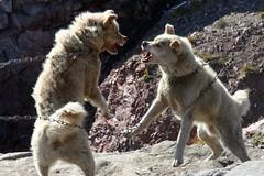 sled dog fight (farflungphotos) Tags: fight arctic greenland dogfight ittoqortoomiit greenlandsleddog