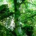 Verde Eden - il Giovane Faggio - The Young Beech - Dino Olivieri