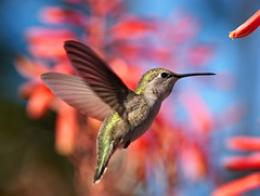 Fairy dust (Peaquod) Tags: wow aloe magick hummingbird magic fairy selasphorusplatycercus costashummingbird calyptecostae isawyoufirst