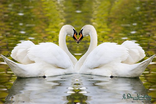 "Two parts, one heart. Happy Valentines! -- Mute Swans, Cygnus olor, etangs Mellaeris vijvers, Brussels, Belgium Belgium_050426_133  Fine Art Prints are available at <a href=""http://www.wildphotons.com"">www.wildphotons.com</a> 10% of your purchases go to an environmental or educational cause."