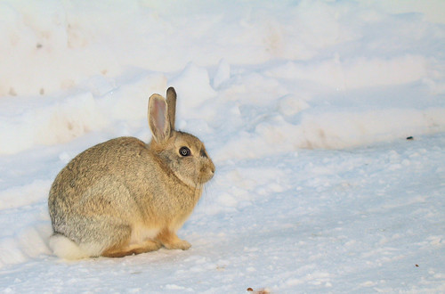 Snow bunny by Richard Masoner / Cyclelicious, on Flickr