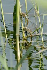 Anax ephippiger ovipositing (Bob Reimer) Tags: dragonfly abudhabi tandem alain unitedarabemirates odonata oviposit anaxephippiger vagrantemporer hemianaxephippiger