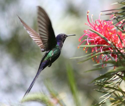 Beija-flor Tesoura (Eupetomena macroura) - Swallow-tailed Hummingbird 36 401 - 9 by Flávio Cruvinel Brandão.