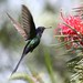 Beija-flor Tesoura (Eupetomena macroura) - Swallow-tailed Hummingbird 36 401 - 9