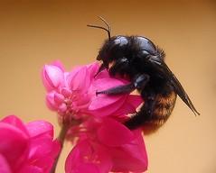 Amor Agarradinho (Jos Vladimir) Tags: macro canon amor a60 agarradinho abelho mamangava