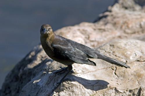 female common grackle. Female Common Grackle