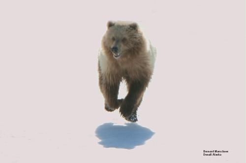 flying griz