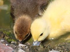Hermanos (> m@x - de nuevo por estos rumbos!) Tags: nature animal duck ducks waterbirds patos aplusphoto cmcoverload