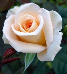 WHITE ROSE (K. Shreesh) Tags: roses rock place you 1st supershot flickrsbest canona540 impressedbeauty aplusphoto isawyoufirst diamondclassphotographer flickrdiamond flowerpicturesnolimits beautifulworldchallenges