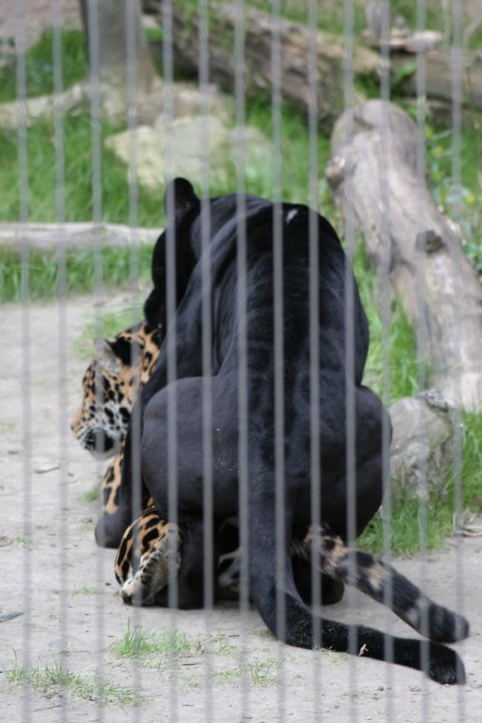Jaguar stripovi porno
